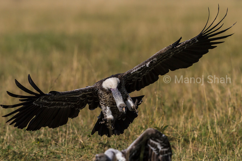 Vulture landing at kill site