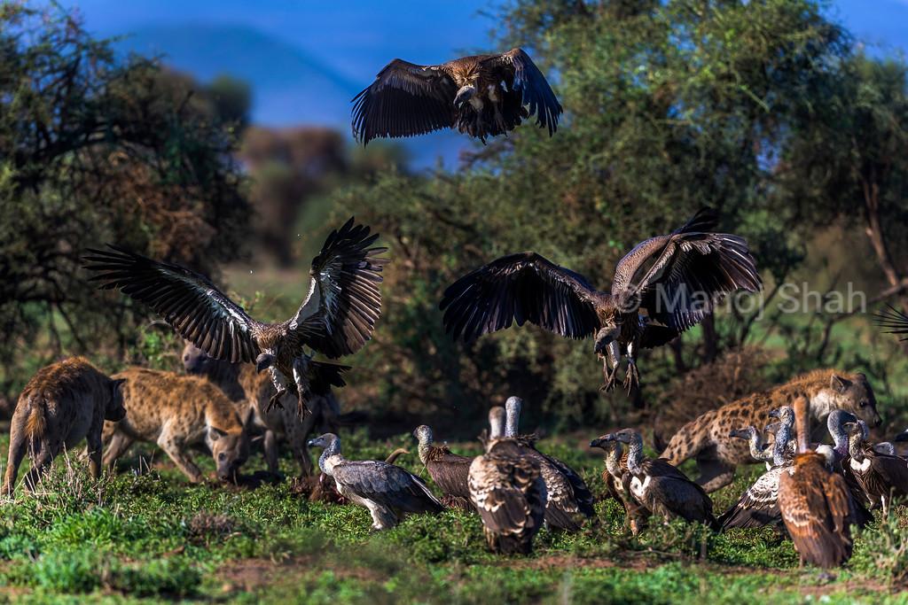 Vultures and hyenas feeding at a zebra kill in Amboseli National Park, Kenya