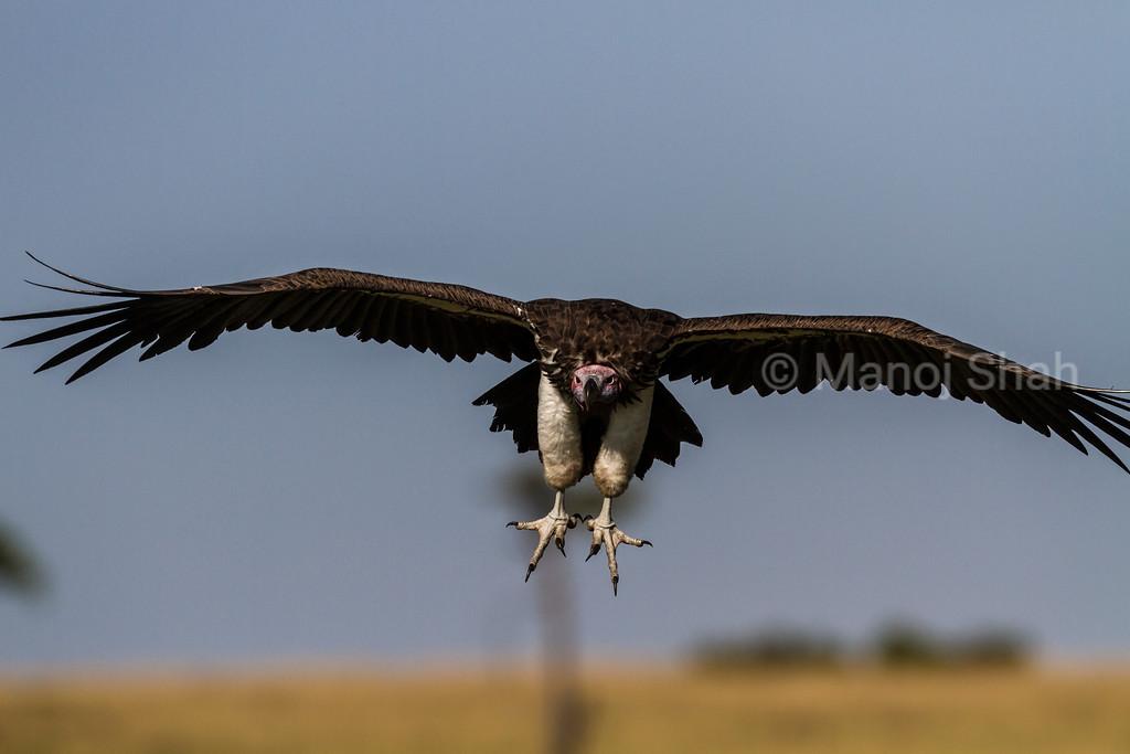 Nubian Vulture landing at kill site