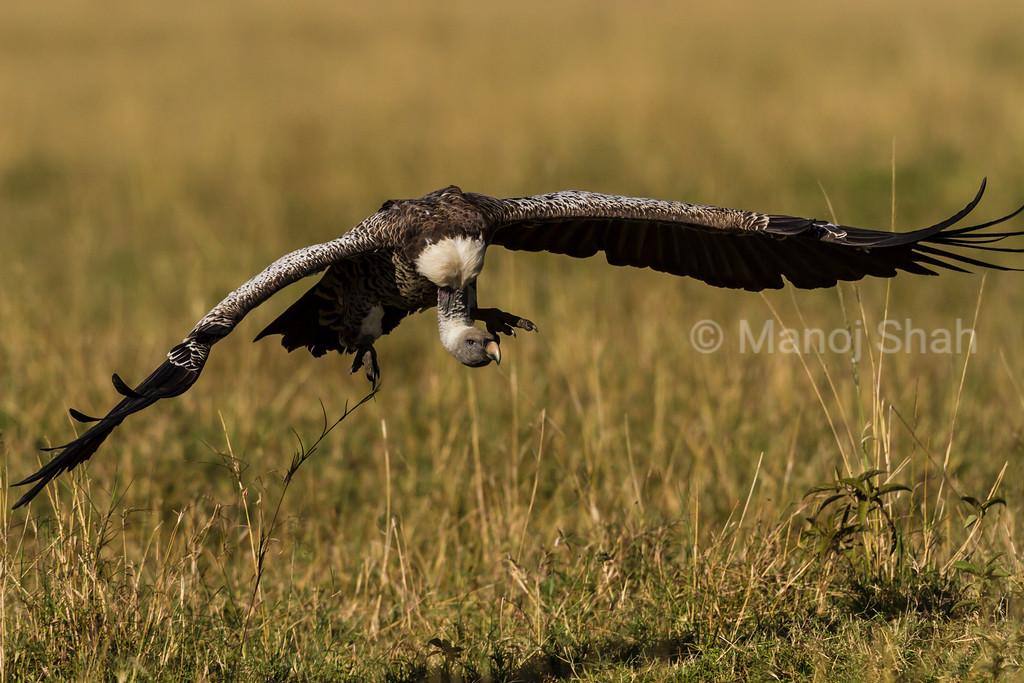 Vulture landing at kill site