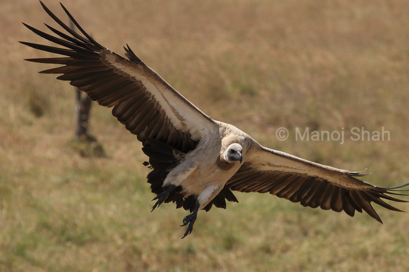 Vulture flight