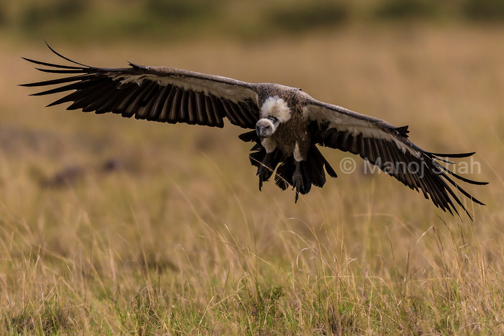 White- backed vulture
