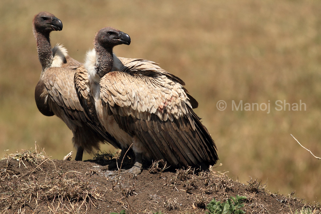 White backed vultures