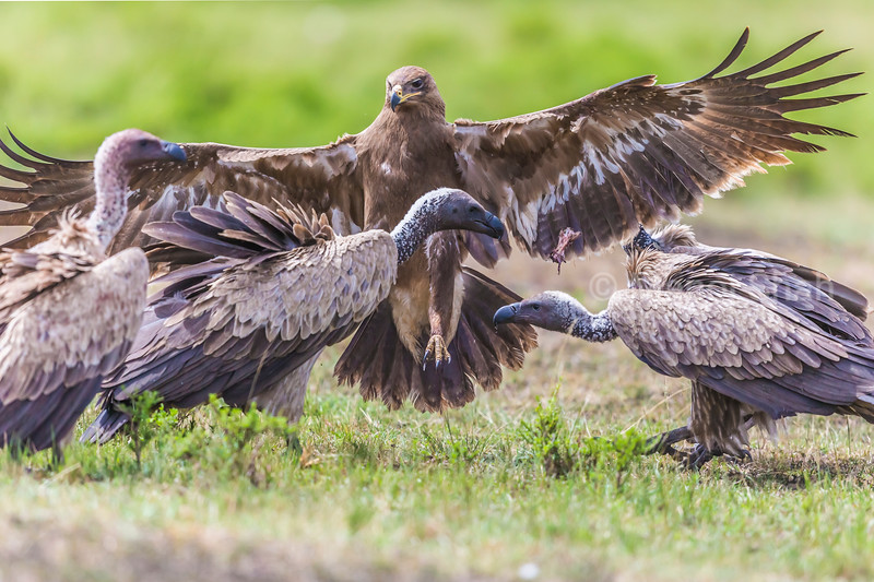 Tawny eagle landing amidst White backed vultures