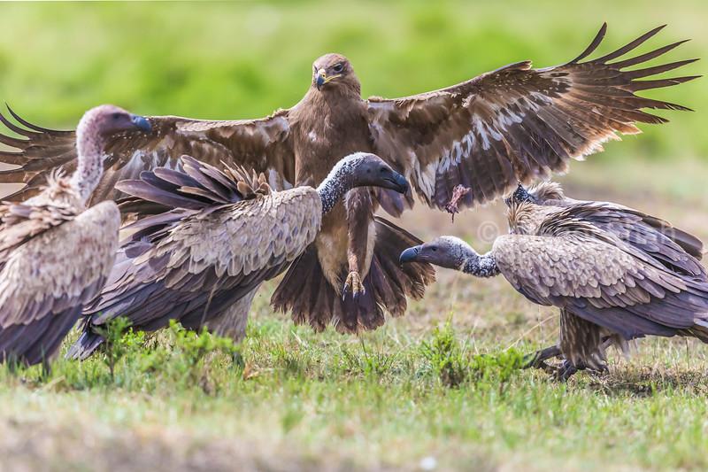 Tawny eagle landing amidst White backed vultures