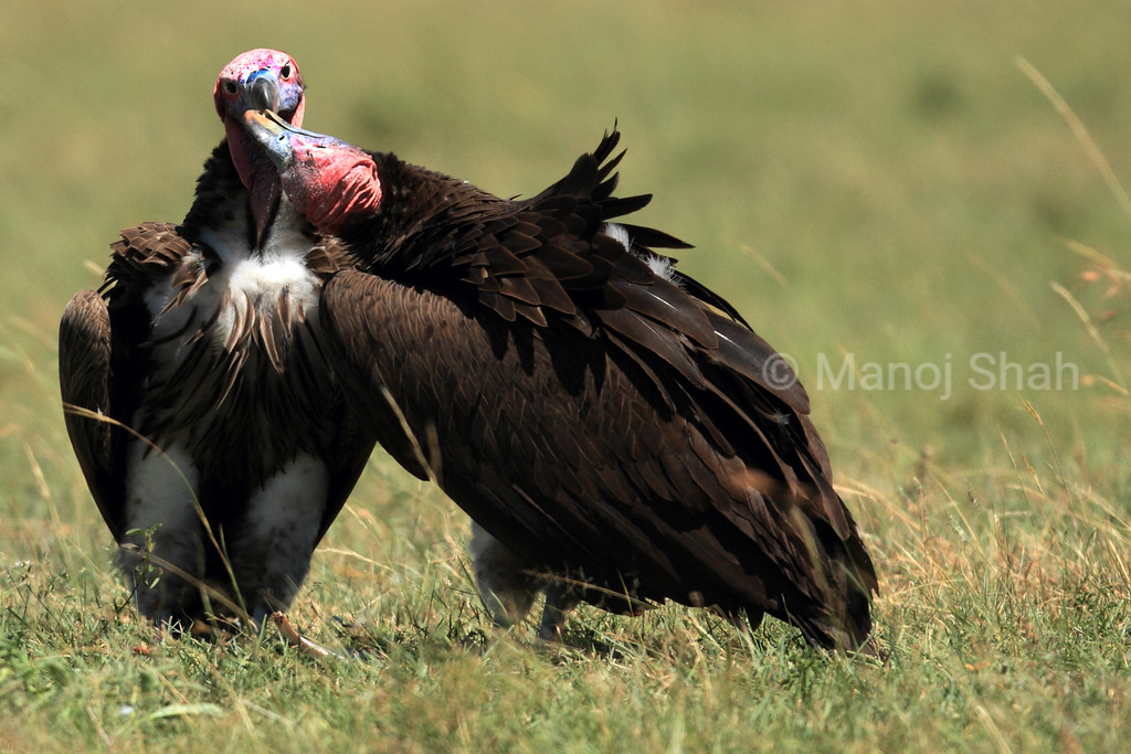 Nubian vultures