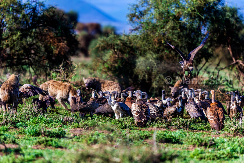 White backed and ruppell's vultures together with spotted hyenas at a Zebra kill in Amboselli Natioal Park, Kenya