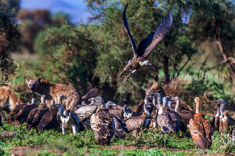 White backed and ruppell's vultures together with spotted hyenas at a Zebra kill in Amboselli Natioal Park, Kenya.
