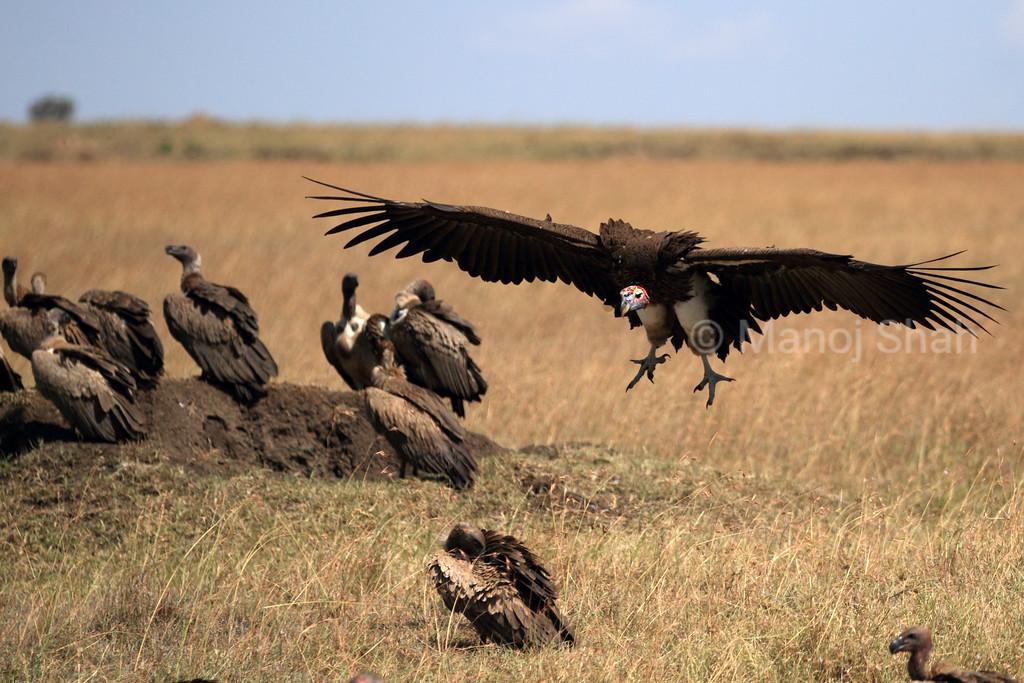 Nubian vulture