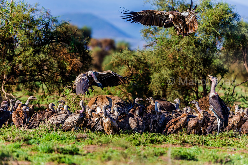 A Marabou stork joins White backed and ruppell's vultures together with spotted hyenas at a Zebra kill in Amboselli Natioal Park, Kenya