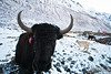 Here is our friend the Yak.  This one is especially beautiful, sporting a colorful earring.