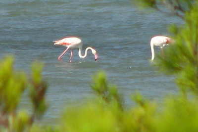 Ibiza Flamingos (the one on the right is hung over from too much partying)