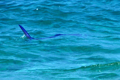 Large Swordfish swimming right up to the shore