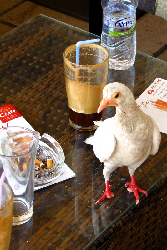 Pigeon dinking coffee