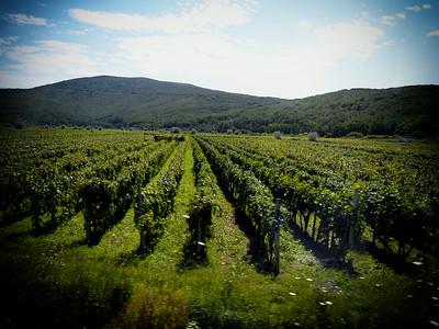 Grape fields near Vrbnik (famous for their wines)