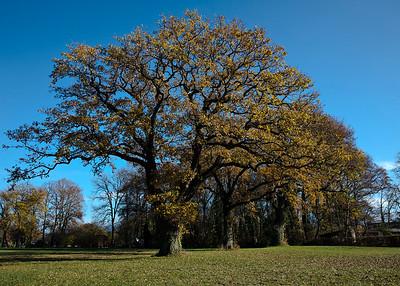 Splendid Oak