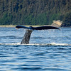 Humpback whales, <br /> Stephens Passage, Juneau, Alaska. <br /> July 31, 2014