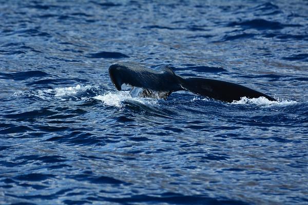 Hawaii Humpbacks