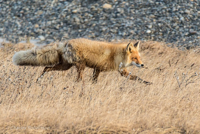 A Red Fox near camp.