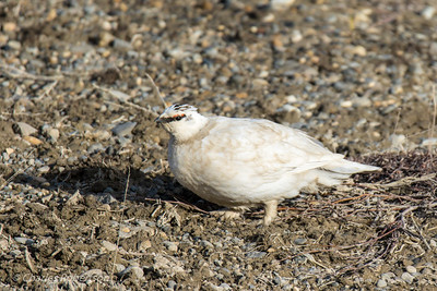 Ptarmigan on the tundra.