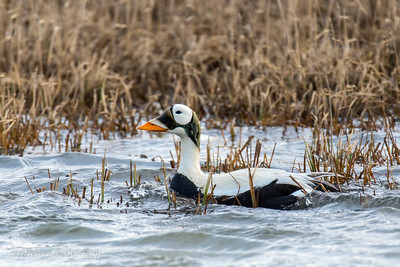 A male Spectacled Eider. These are very uncommon, found mainly along the north coast of Alaska, along pack ice in the Beaufort Sea, and in Siberia.
