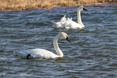 Pair of Tundra Swans on ice-free pond.