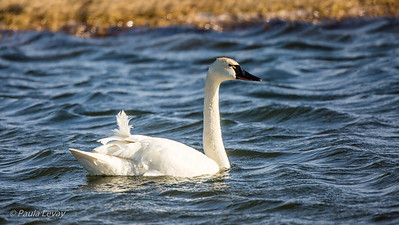 A Tundra Swan, distiguished from the Trumpeter Swan by the small yellow patch at the base of their bill.