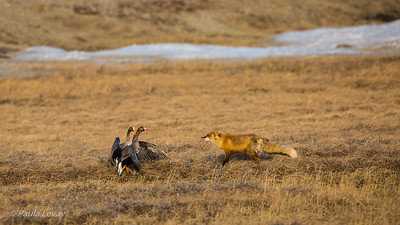 A Red Fox attacking a pair of White-fronted Geese. The geese successfully thwarted the attack and the fox retreated! This was so remarkable to watch!!