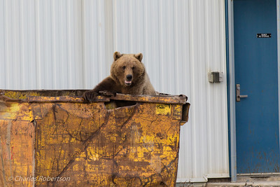 Grizzly in a dumpster - why you need bear-proof containers!
