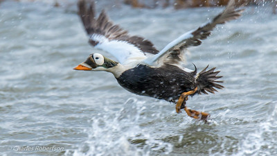 The male Spectacled Eider getting airborne.