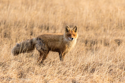 "Beautiful Red Fox in nice ""nighttime"" light."