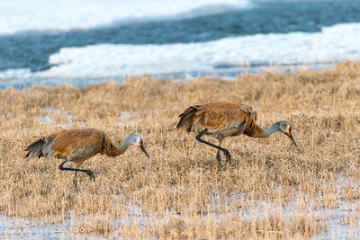 A pair of Sandhill Cranes around a partially frozen pond. The brown color most likely is from dirt containing iron oxides.