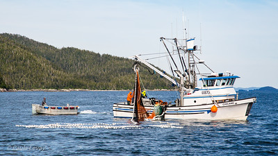 A commercial fishing boat taking salmon with a purse seine.