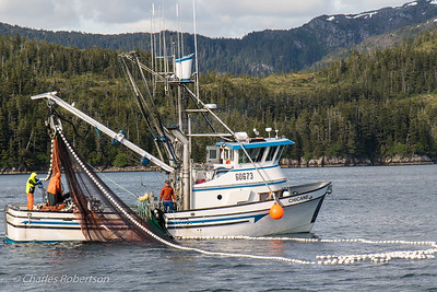 Commercial fishermen hauling in a big purse seine loaded with salmon.