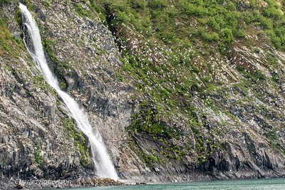 Hundreds of Black-legged Kittiwakes are nesting on the cliffs around this waterfall.