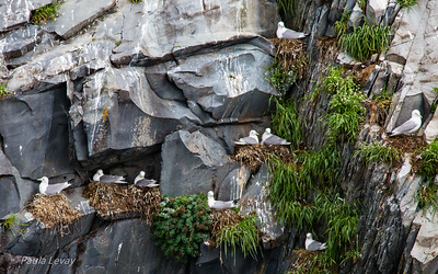 A close-up of Black-legged Kittiwakes nesting on the cliffs.