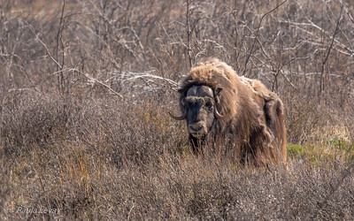 A single Musk Ox in the brush close to the road in the middle of the Brooks Range. Got out for a while to stalk him through the brush and Paula got some of its fur (quiviat) that he was rubbing off on the trees. Amazing encounter!