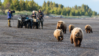 A grizzly sow and her cubs chasing a third year male bear down the beach past some other photographers toward our position.
