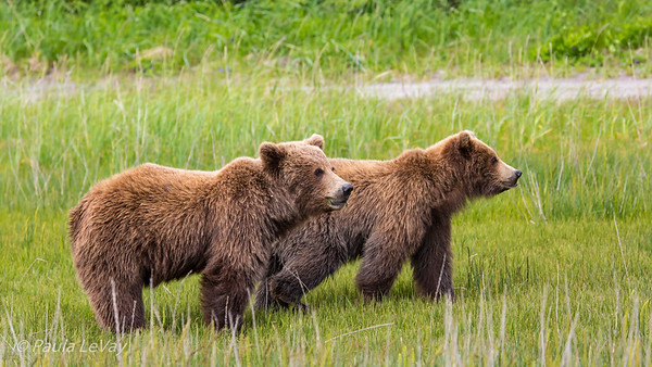 A pair of grizzly bear cubs watching their mother. These are probably second year cubs.