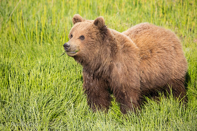 A fat little grizzly cub with its mouth full of grass.