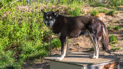 One of Bernie and Uta's sled dogs. Not much for them to do now, and they are probably not happy about that!