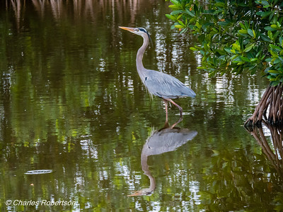 Great Blue Heron hunting in the mangroves - Corkscrew Swamp