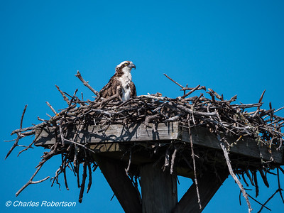 Osprey on a nest at Ding Darling NWR