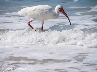 White Ibis in the Surf - Naples beach