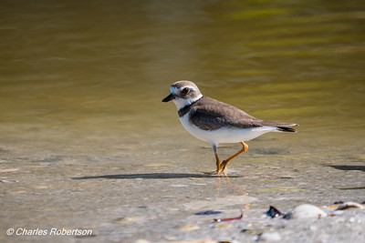 Semipalmated Plover - Little Estero Lagoon