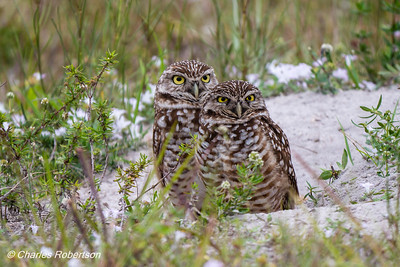 Burrowing Owls near their nest at Cape Coral library.