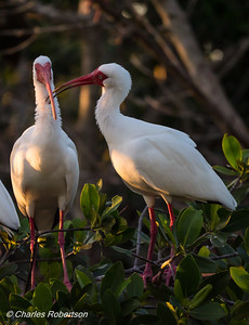 White Ibis Pair interacting - Marsh Trail, 10,000 Islands NWR
