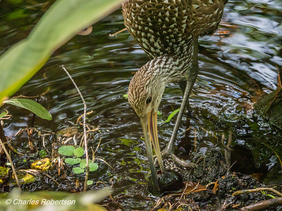 Limpkin Eating an Apple Snail - Corkscrew Swamp