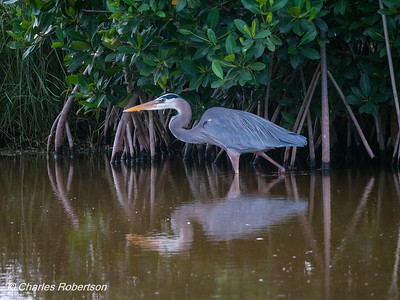 Great Blue Heron hunting in the mangroves - Marsh Trail