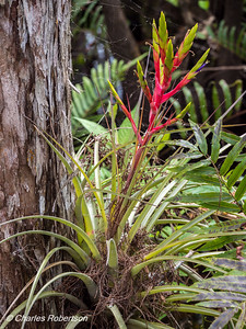 Bromeliad growing from base of cypress tree - Corkscrew Swamp